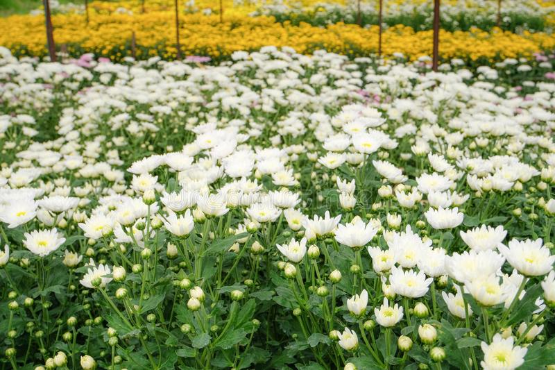 Beautiful blooming white chrysanthemum flowers with green leaves in the garden. Nature background royalty free stock photos