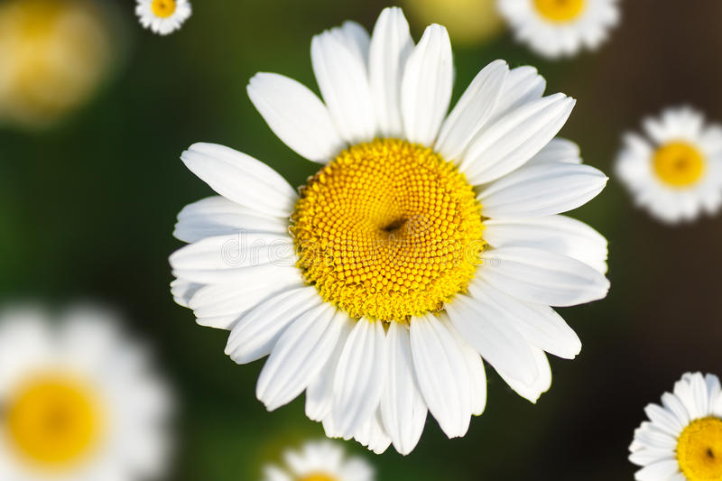Beautiful blooming white daisy. In summer sunny day royalty free stock photography