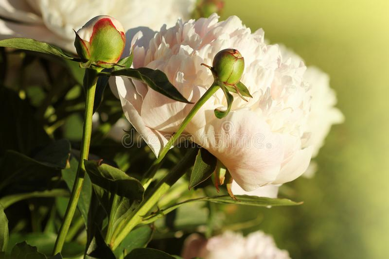 Beautiful blooming white peony flowers in spring time royalty free stock images