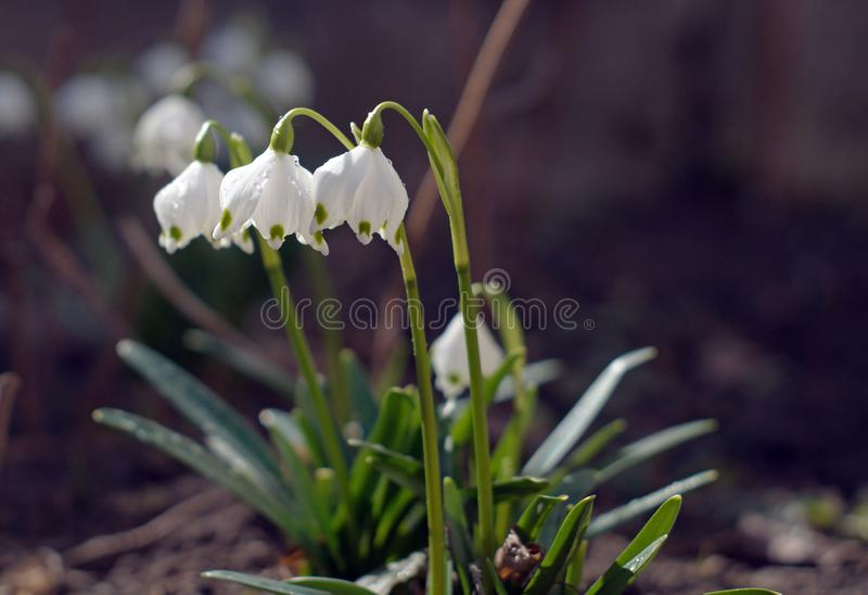 Beautiful blooming of White spring snowflake flowers in springtime royalty free stock photos