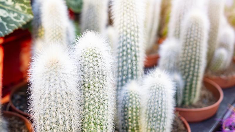 Beautiful blooming wild desert cactus flower. Green cactus plant in plastic pot. Golden Ball Cactus. Selective of focus.  royalty free stock photos