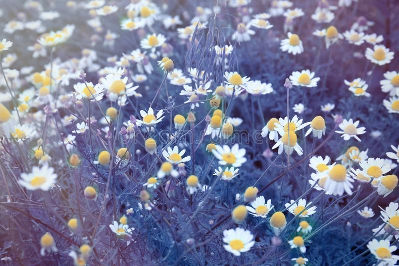 Beautiful blooming wild flowers in meadow, color. Tone stock photos