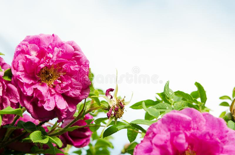 Beautiful blooming wild rose bush dog rose, Rosa canina. royalty free stock image
