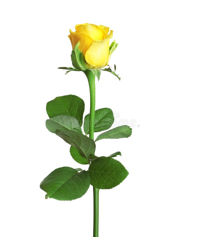 Free Beautiful Blooming Yellow Rose Royalty Free Stock Image - 126579806