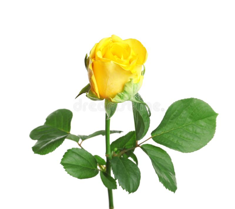 Beautiful blooming yellow rose. On white background royalty free stock image