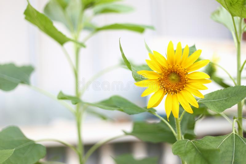 Beautiful blooming yellow sunflower  in tropical garden. A Beautiful blooming yellow sunflower  in Thai tropical garden royalty free stock photography