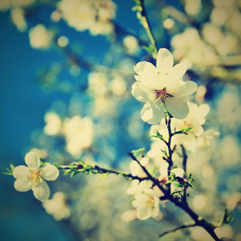 Beautiful blossom tree. Nature scene with sun on Sunny day. Spring flowers. Abstract blurred background in Springtime. royalty free stock images