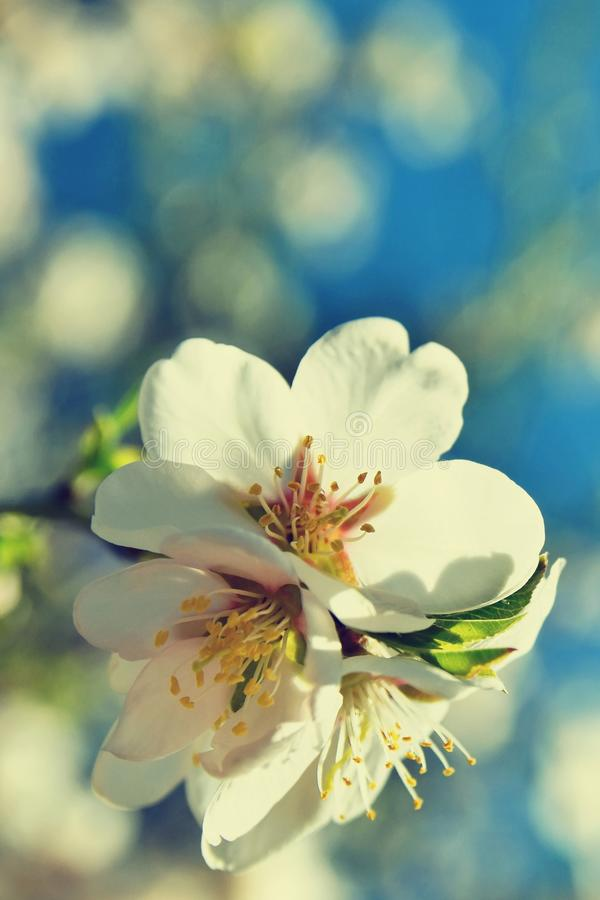 Beautiful blossom tree. Nature scene with sun on Sunny day. Spring flowers. Abstract blurred background in Springtime. Beautiful blossom tree. Nature scene with stock photos