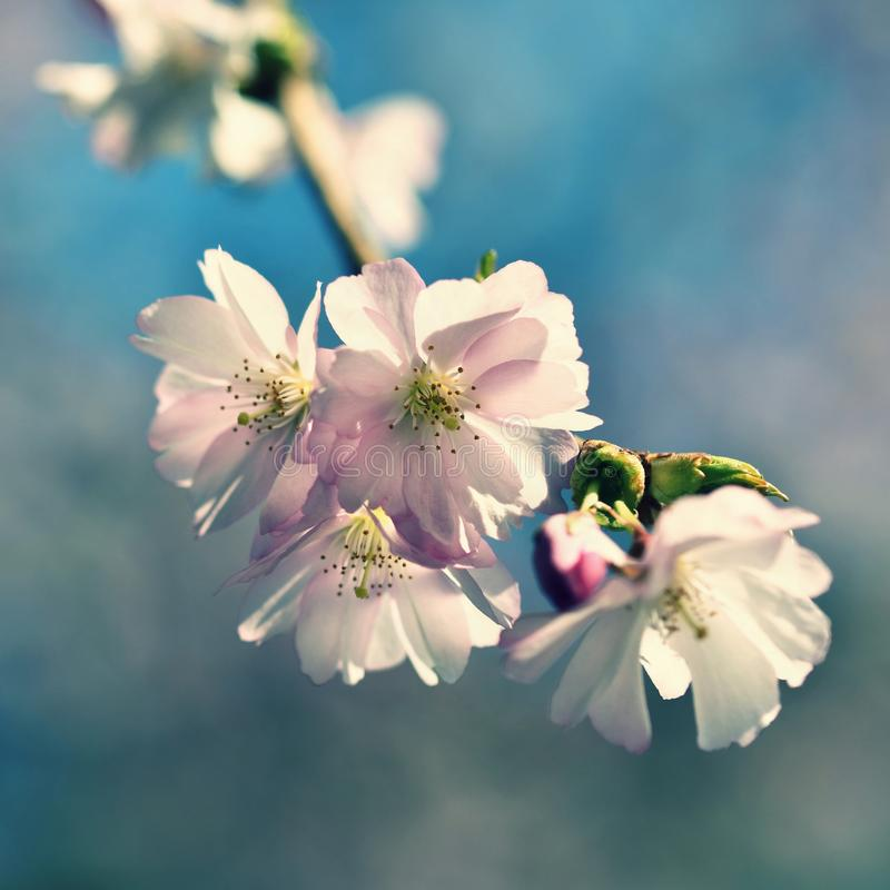 Beautiful blossom tree. Nature scene with sun on Sunny day. Spring flowers. Abstract blurred background in Springtime. royalty free stock photos