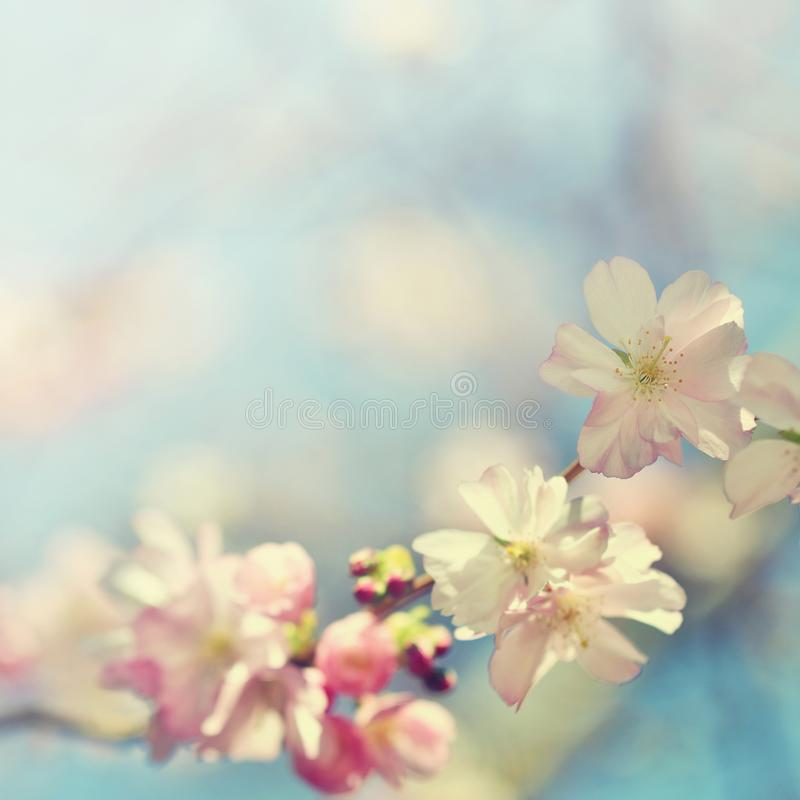 Beautiful blossom tree. Nature scene with sun on Sunny day. Spring flowers. Abstract blurred background in Springtime. royalty free stock photography
