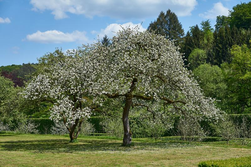 Blooming apple tree in Luxembourg royalty free stock photos
