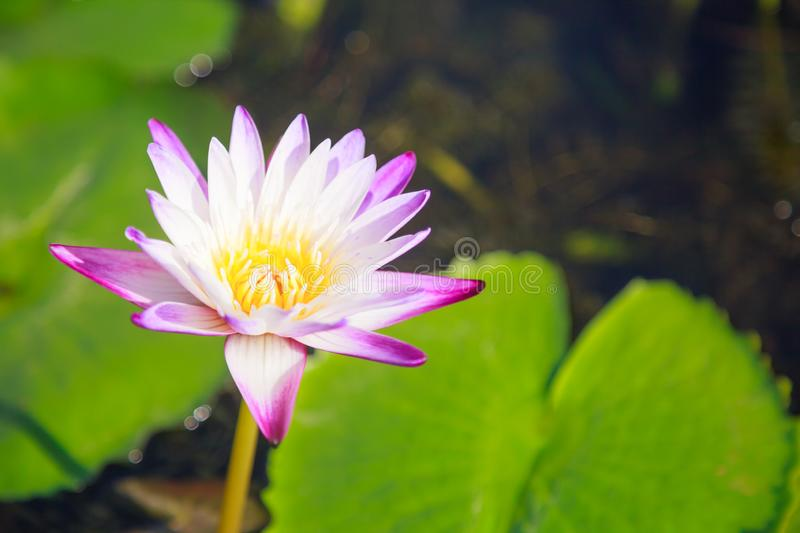 Beautiful blossoming aquatic white and purple water lily lotus flower in green pond background. Nature, Natural Plant, Flora, stock photos