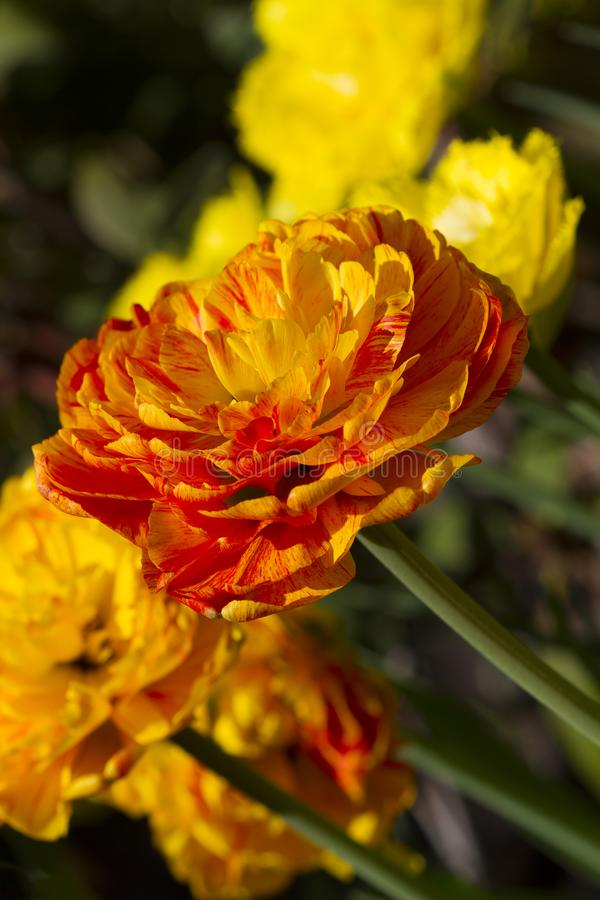Beautiful blossoming orange tulips royalty free stock photo