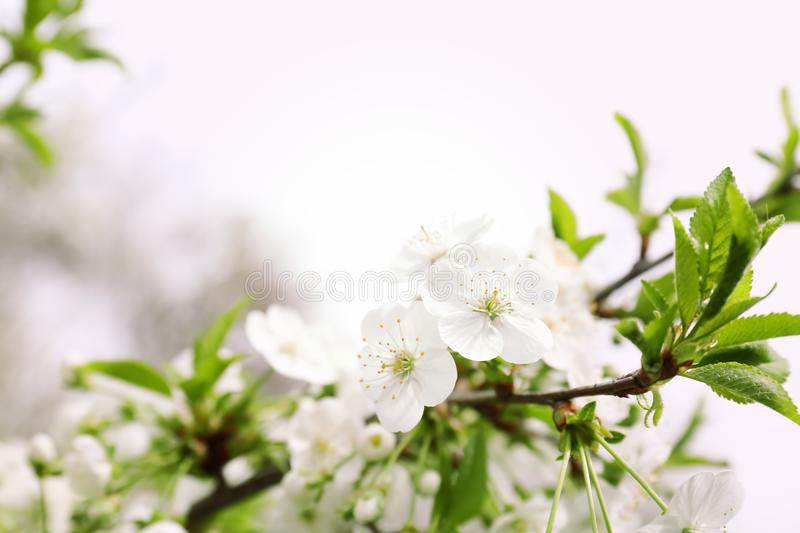 Beautiful blossoming tree branch. On spring day stock photography