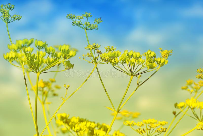 Beautiful blossoming yellow dill flower in summer stock images