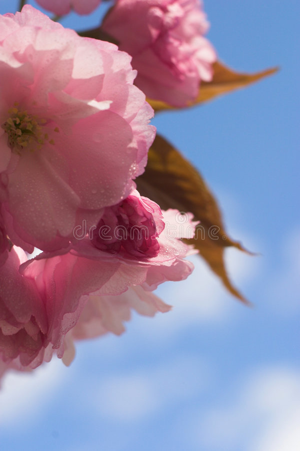 Beautiful Blossoms royalty free stock photography