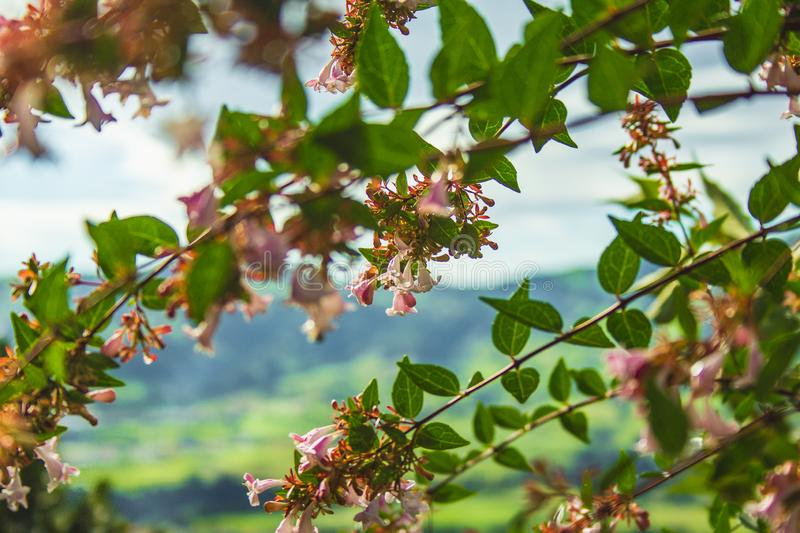 Beautiful blossoms on tree with mountainous landscape in the background on Sao Miguel Island, Azores, Portugal stock image