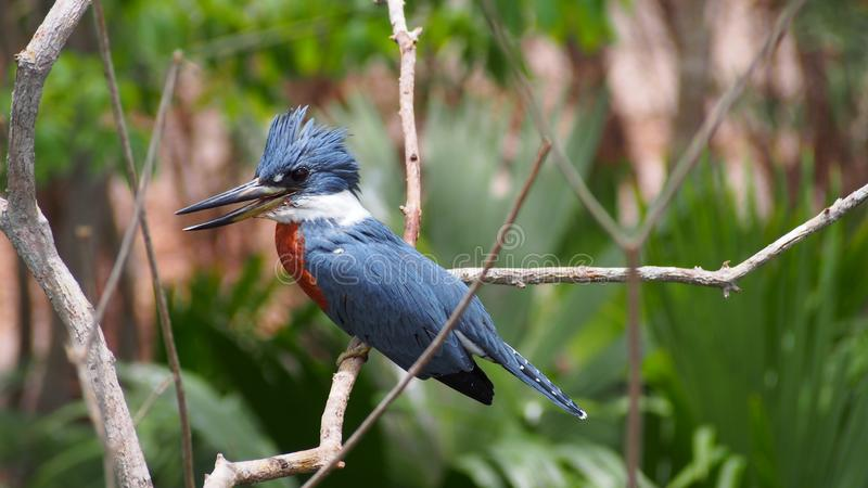 Belted kingfisher on a branch stock image