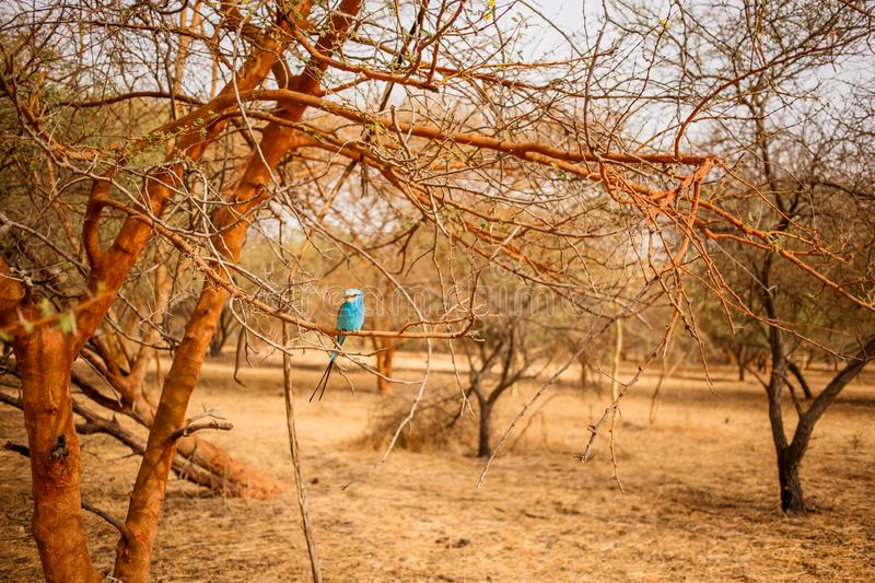 Beautiful blue bird sitting on a branch of tree. Wild life in Safari. Baobab and bush jungles in Senegal, Africa. Bandia Reserve. Hot, dry climate stock image