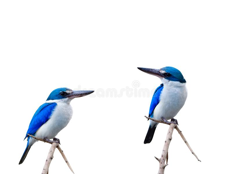Beautiful blue birds perching on thin branch isolated on white b stock images