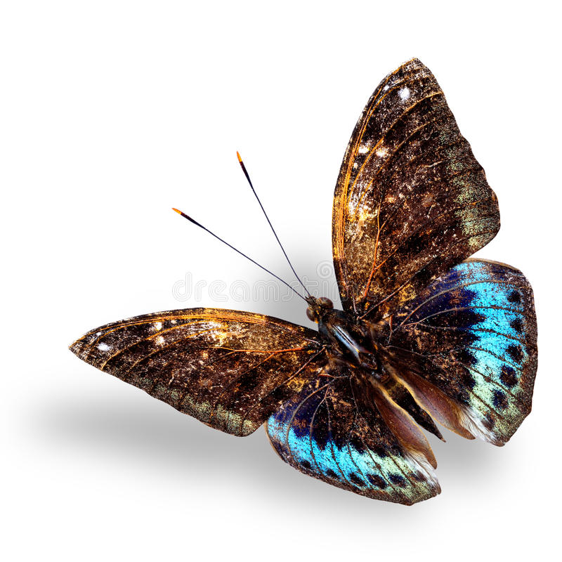 Beautiful blue and brown flying butterfly, Black-tip archduke bu. Tterfly with soft shadow on white background stock photo
