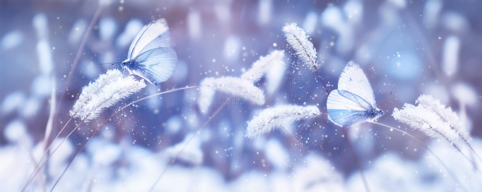 Beautiful blue butterflies in the snow on the wild grass. Snowfall Artistic winter christmas natural image. Winter and spring back. Ground. Banner format stock images