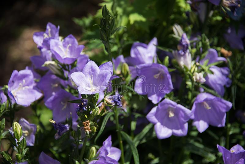 A beautiful blue Campanula flower in a green soil background. stock photos