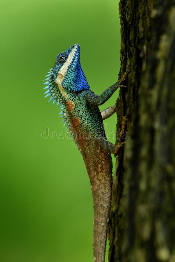 Beautiful blue chameleon with red spots on its body and bronw ta. Il stick on tree over fine blur green background in nature, exotic lizard, white, wild royalty free stock images