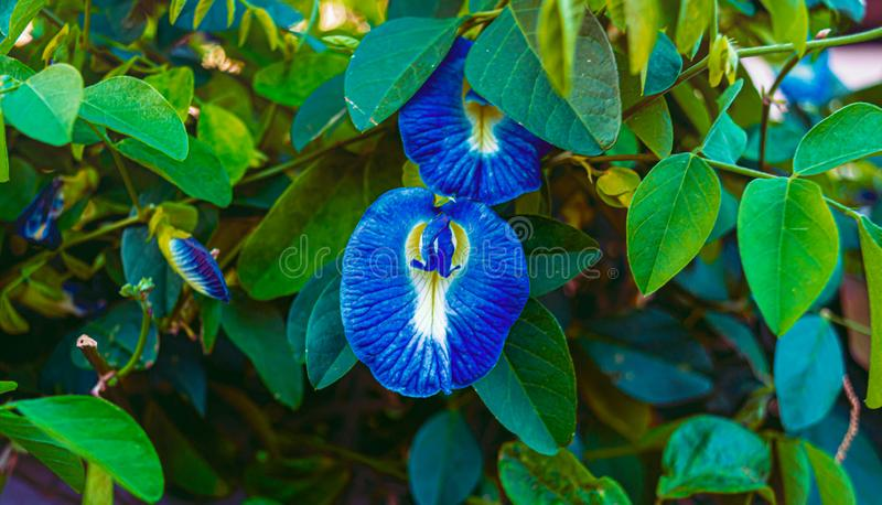 Beautiful blue clitoria ternatea or blue butterfly pea flower with green leaves on background royalty free stock images