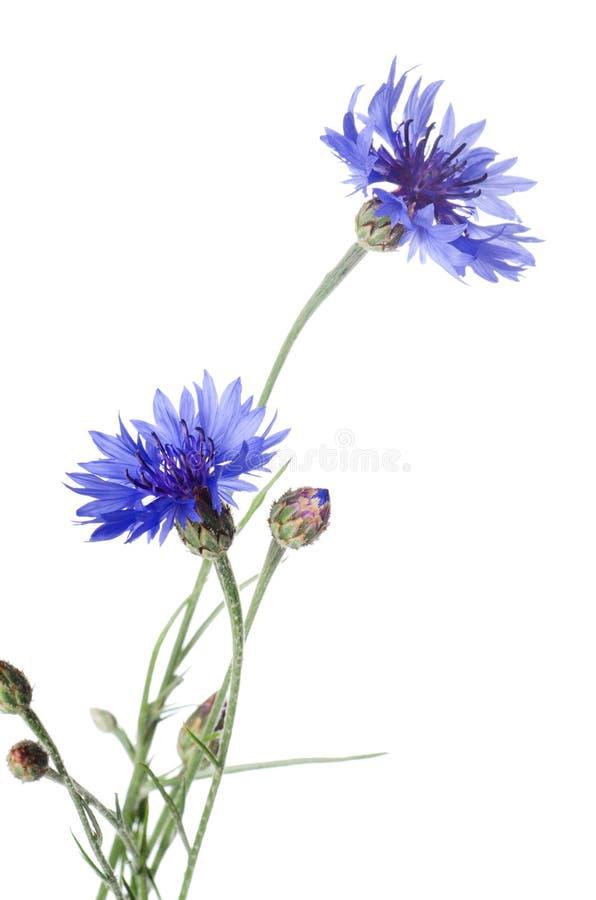 Beautiful blue cornflower. Isolated on white background royalty free stock image