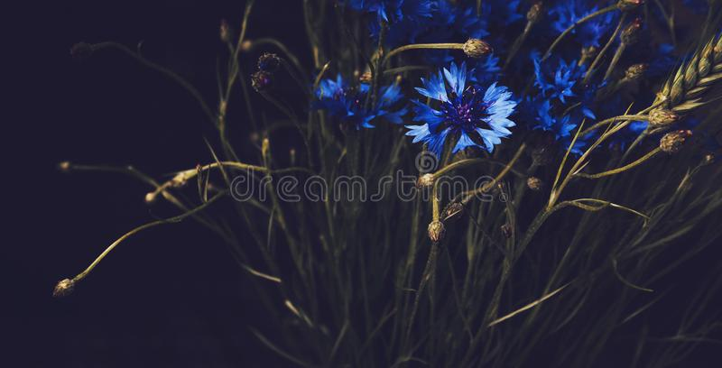 Beautiful blue cornflower flowers on black background. Floral abstract. Fine art style. Blossom summer botanical elements. Vintage. Beautiful blue cornflower stock image