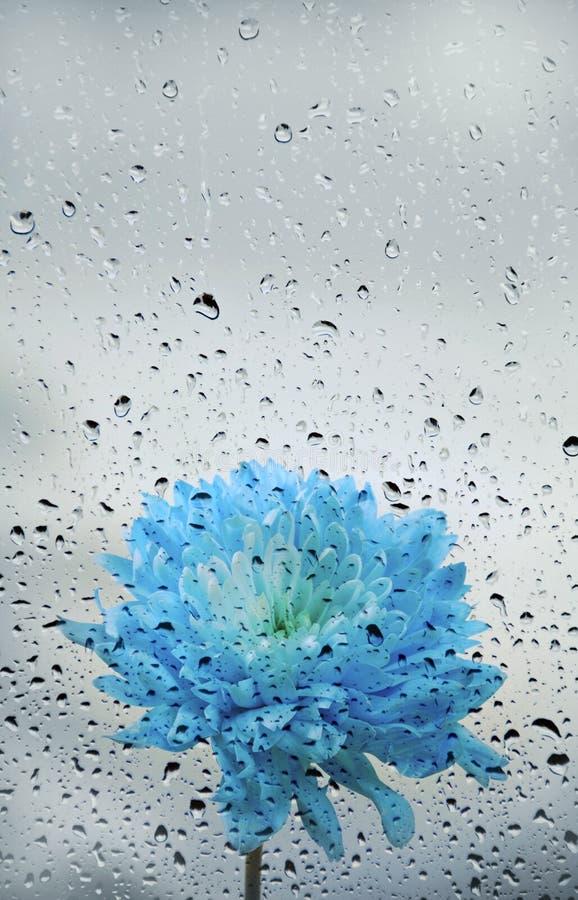 Beautiful blue daisy chrysanthemum flower with drops of rain stock image