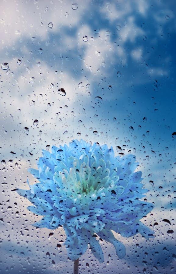 Beautiful blue daisy chrysanthemum flower with drops of rain stock photos