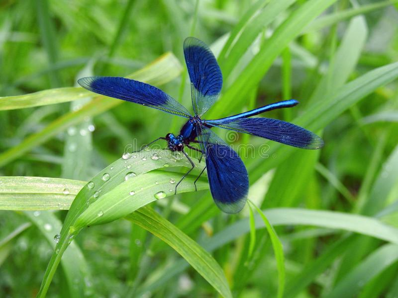 Beautiful blue dragonfly on green grass , Lithuania. Nice blue dragonfly on green grass with morning dew in spring stock photography
