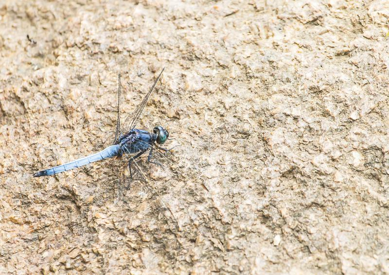 Beautiful blue dragonfly on a rock in nature stock photos