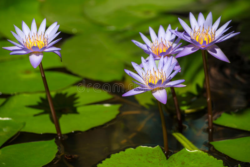 Beautiful blue Egyptian water lilies. Beautiful blue Egyptian water lily (Nymphaea caerulea) closeup royalty free stock images