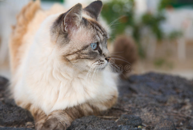 Beautiful Blue Eyed Cat Royalty Free Stock Photos
