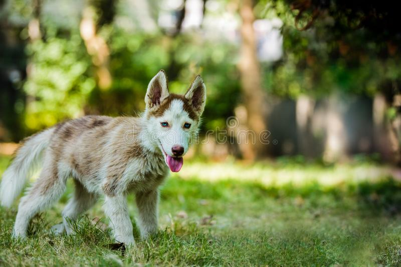Beautiful Blue eyed Husky Puppy. Cute blue eye siberian husky puppy in isolated background stock photography