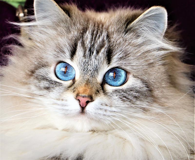 Beautiful blue eyed Siberian  Cat royalty free stock photography