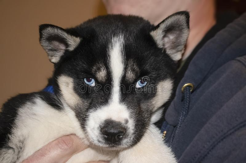 Beautiful blue eyed Siberian Husky puppy being held of unidentifiable male - selective focus royalty free stock image