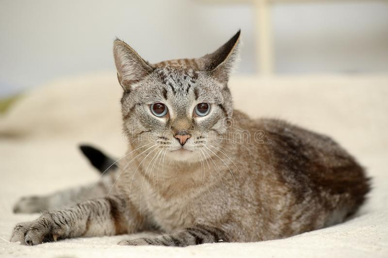 Blue eyed thai tabby cat. Beautiful blue eyed thai tabby cat royalty free stock photo