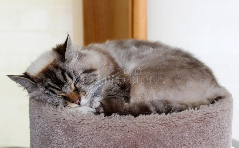 Beautiful blue eyes female cat, hypoallergenic cat. Animal that can be pet by people who is allergic to cats. Gorgeous unique brown grey feline royalty free stock images
