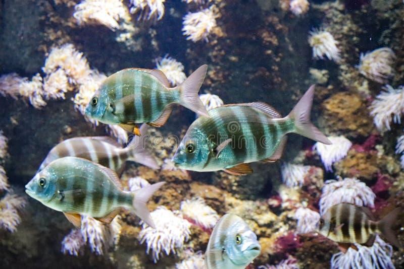 Beautiful blue fishes in Cretaquarium royalty free stock photo