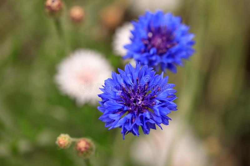 Beautiful blue flower growing in the park stock photo
