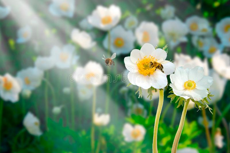 Beautiful blue flower japanese anemones macro in summer spring field on background with sunshine and a flying bee, close-up macro stock photo