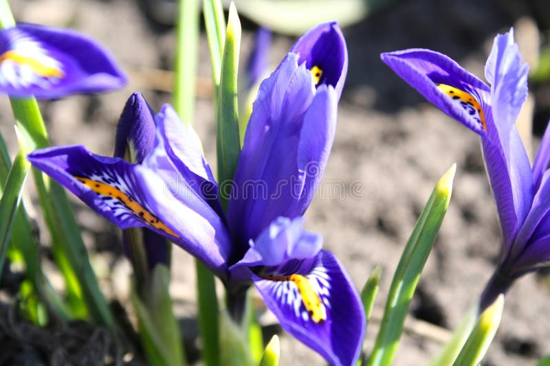 Beautiful blue flowers in all its glory on a bright sunny day stock photo
