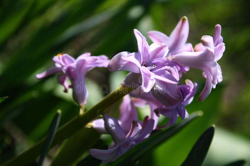 Beautiful blue flowers in all its glory on a bright sunny day royalty free stock photography