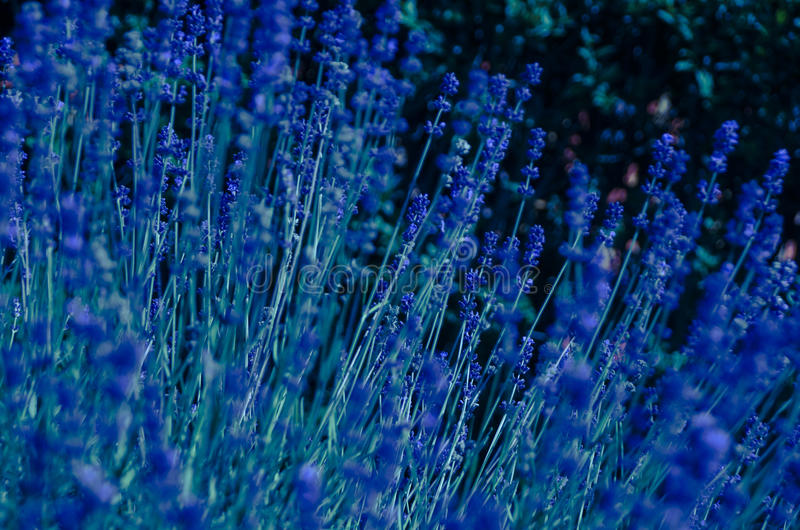 Download Beautiful Blue Flowers Stock Photo Image Of Photography