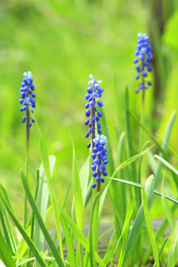 Beautiful blue flowers of muscari royalty free stock photography