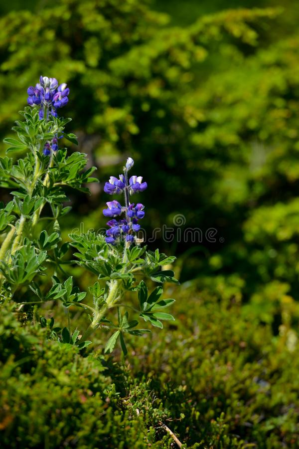Beautiful bluebells wild grown in Alaska. royalty free stock images